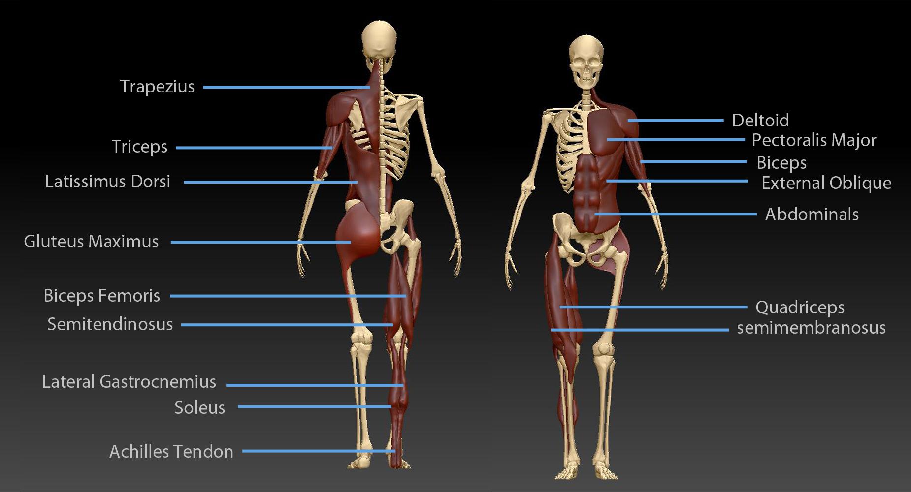 Major Human Surface Anatomy | Josh Hulands